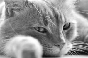 Язва у кошки: симптомы, лечение