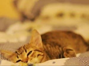 Кошка болеет отодектозом