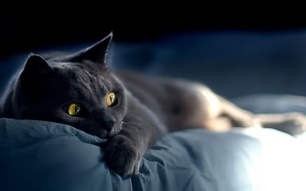 Русская голубая кошка на кровати
