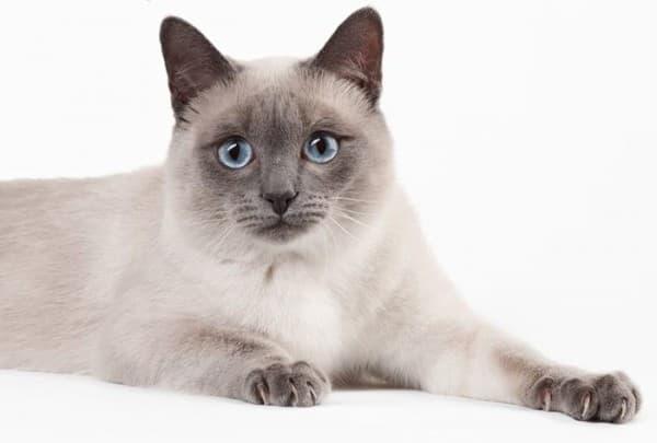 Тайсая кошка блю-поинт