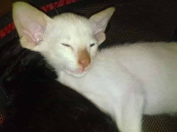Тайская кошка циннамон-поинт