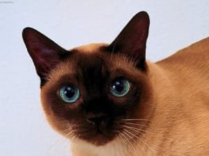 Тайская кошка описание породы и характера