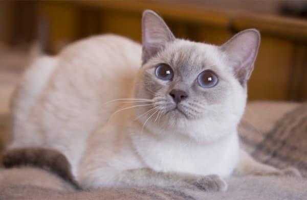 Лайлак-поинт тайская кошка