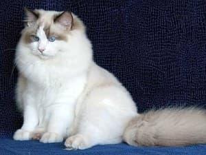 Кошка похожая на льва