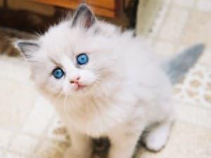 Котенок рэгдолл