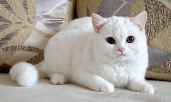 Белый скоттиш-страйт
