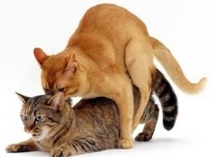 Как часто происходят течки у кошек
