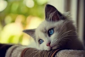 Аллергия у кошек: симптомы, лечение