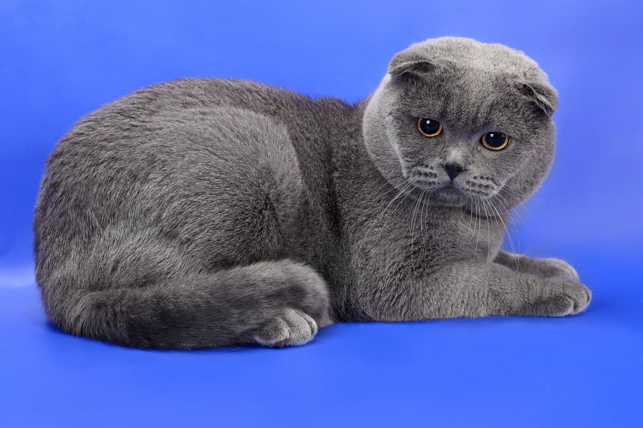 Шотландский вислоухий черный кот