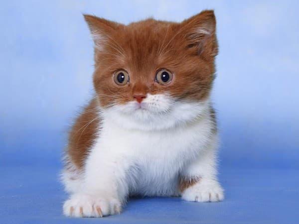 Шотландская вислоухая кошка биколор