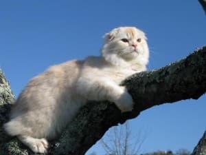 Кошка породы Хайленд-фолд