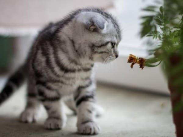 Дымчатая шотландская вислоухая кошка