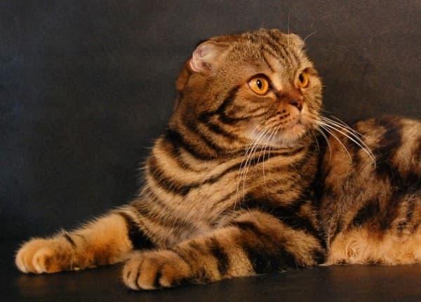 Черепаховый шотландский вислоухий котенок