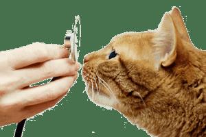 Астма у кошек: симптомы, лечение