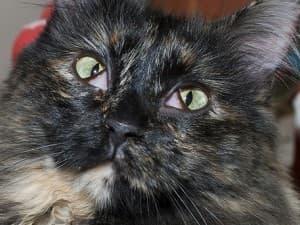 Третье веко на обоих глазах у кошки
