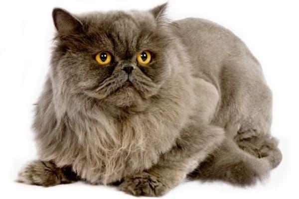 Кремовая персидская кошка