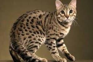 Чаузи - американский камышовый кот