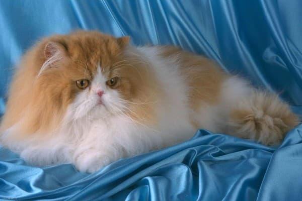 Красный биколор персидская кошка