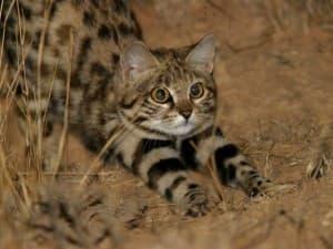 Внешний вид камышового кота