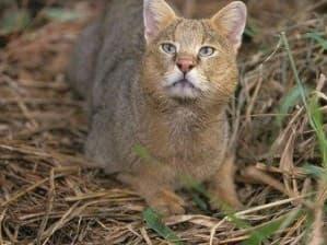 История камышового кота