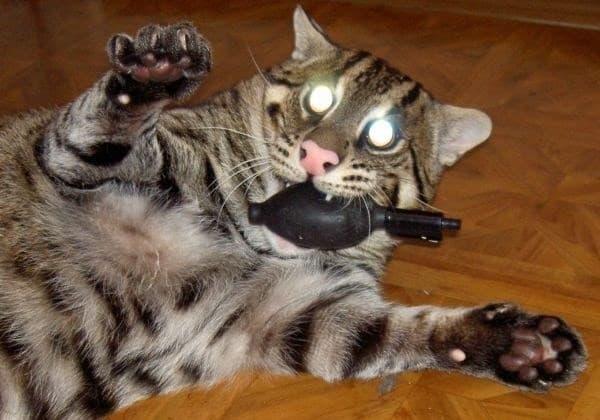 Камышовый кот играется с игрушкой