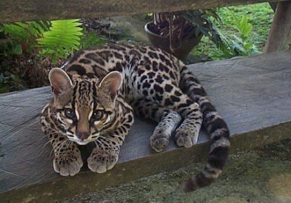 Камышовый кот на лавочке