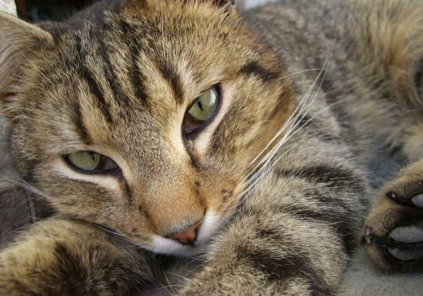 Камышовый кот пронзает взглядом