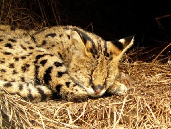 Камышовый кот спит
