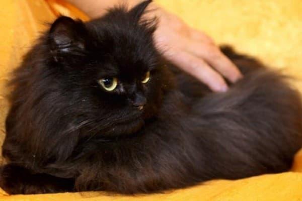 Черная персидская кошка