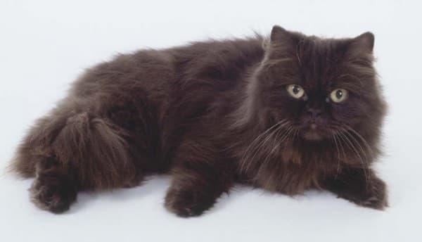 Шоколадная персидская кошка