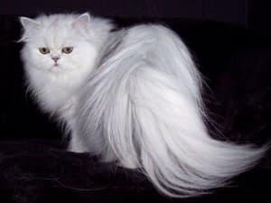 Шерсть персидской кошки