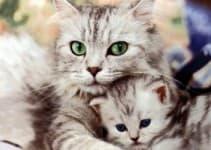Как узнать беременна ли кошка
