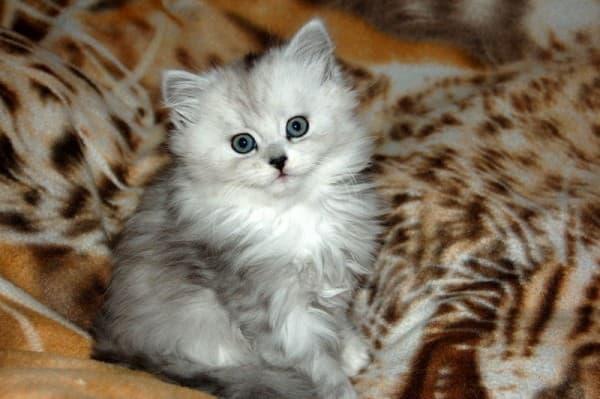 Серебристая шиншилла персидская кошка