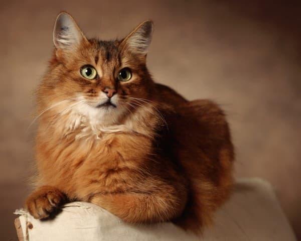 Сомалийская кошка на диване