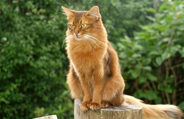 Сомалийская кошка на пне