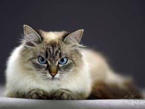 Характер маскарадной кошки