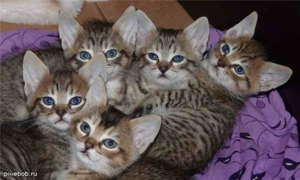 Котята пиксибоба