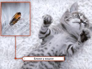 Как понять что у кошки завелись блохи
