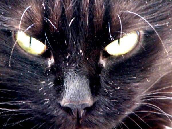 Шантильи-тиффани: фото кошки, цена, характер породы, описание, видео
