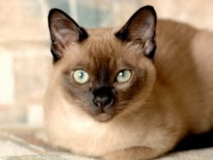 интеллект тонкинской кошки