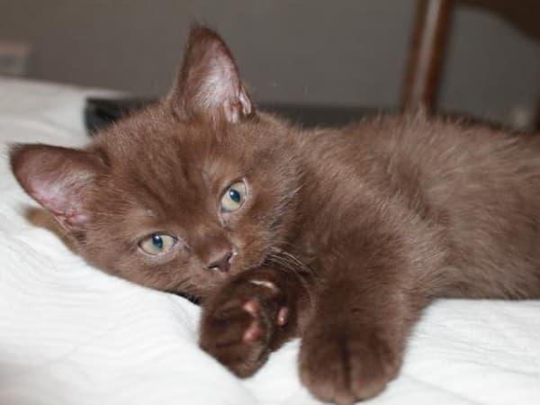 Йоркский шоколадный котенок