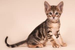 Сококе - кошка из Африки