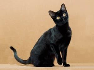 Поведение бомбейской кошки