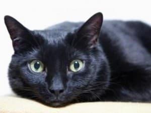 История бомбейской кошки
