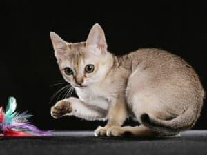 уход за сингапурской кошкой