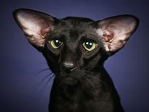 Характер петербуржской кошки