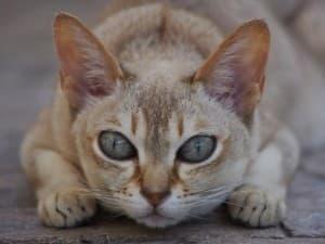Поведение сингапурской кошки