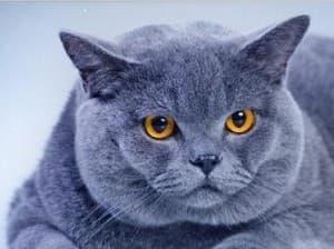 Шартрез: фото кошки, цена, характер породы, описание, видео