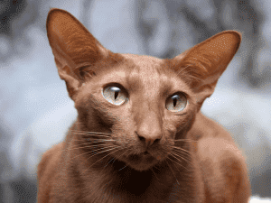 Питание яванской кошки