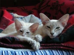 Характер яванской кошки